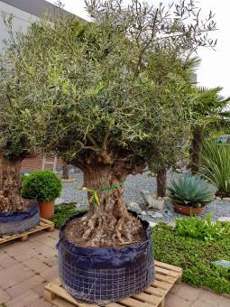 Alter Olivenbaum