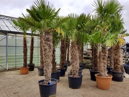 Winterharte Palme - Trachycarpus