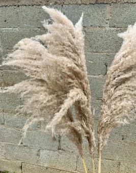 Fluffy Pampas Gras in Natur. Stückpreis 4,90 €.